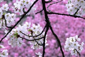 cherry blossom wallpapers hd