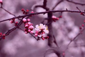 cherry branch flowers