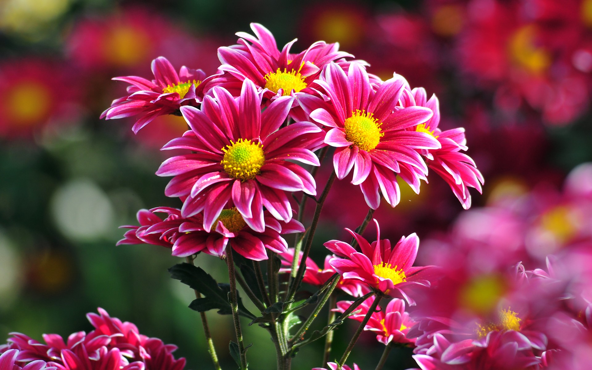 chrysanthemums backgrounds