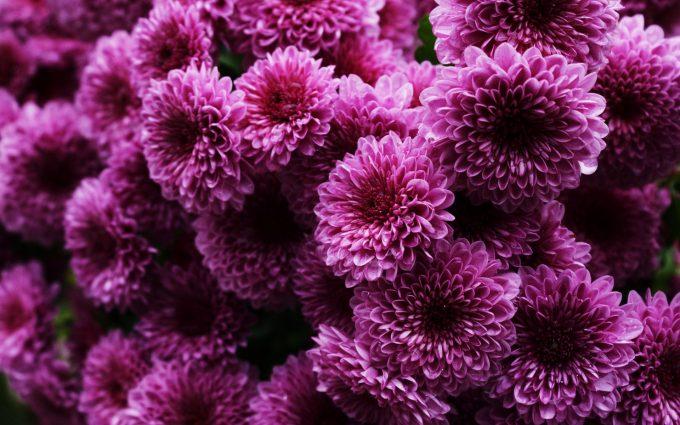 chrysanthemums cute