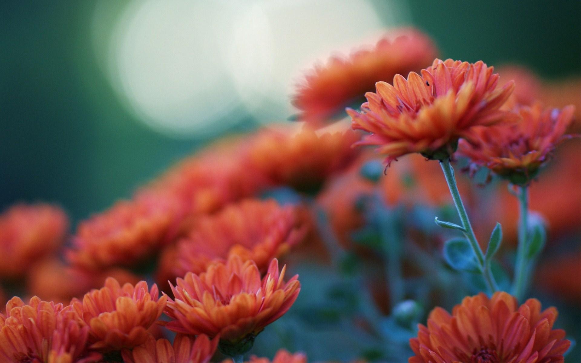 chrysanthemums hd