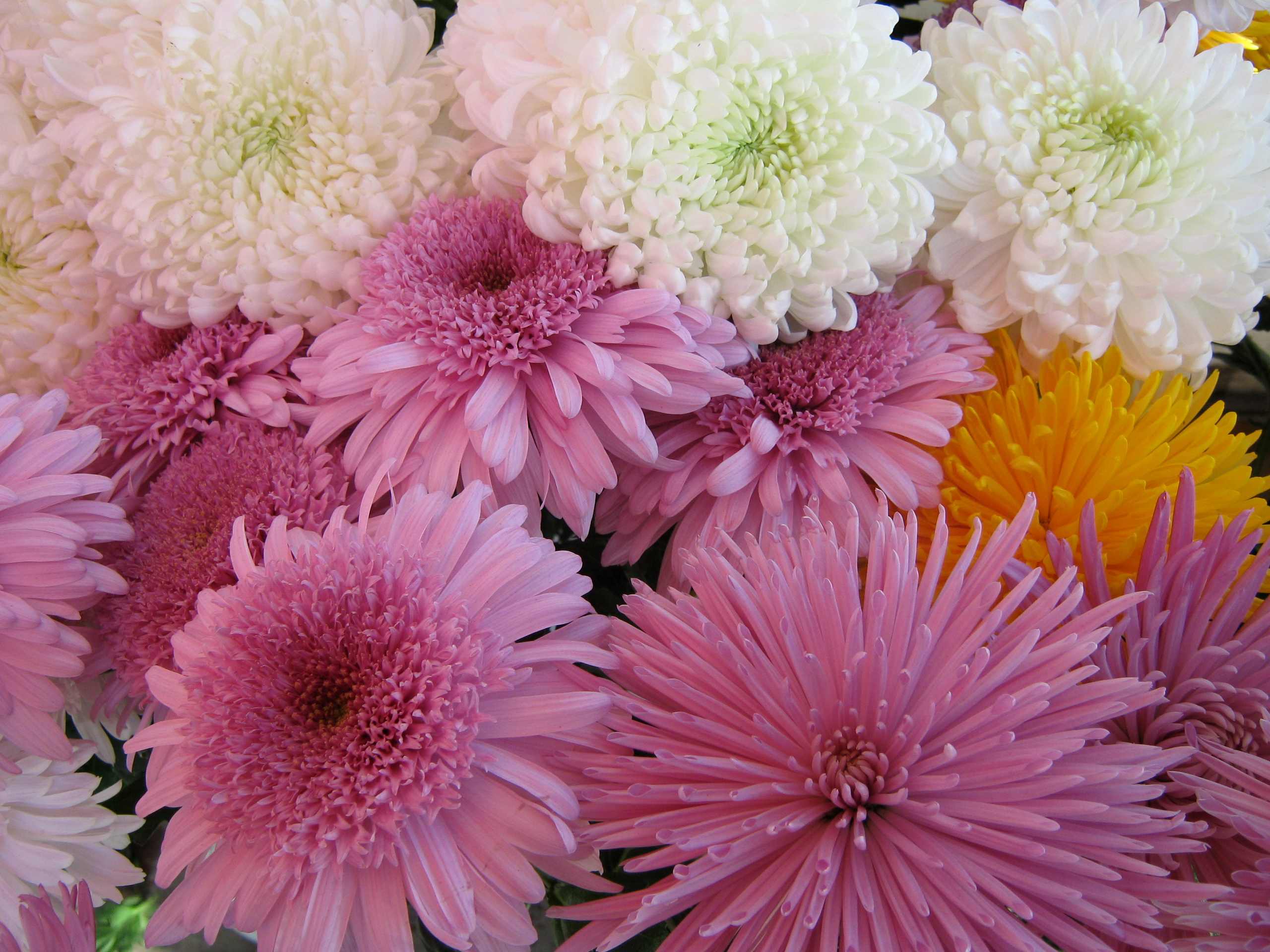 chrysanthemums lovely
