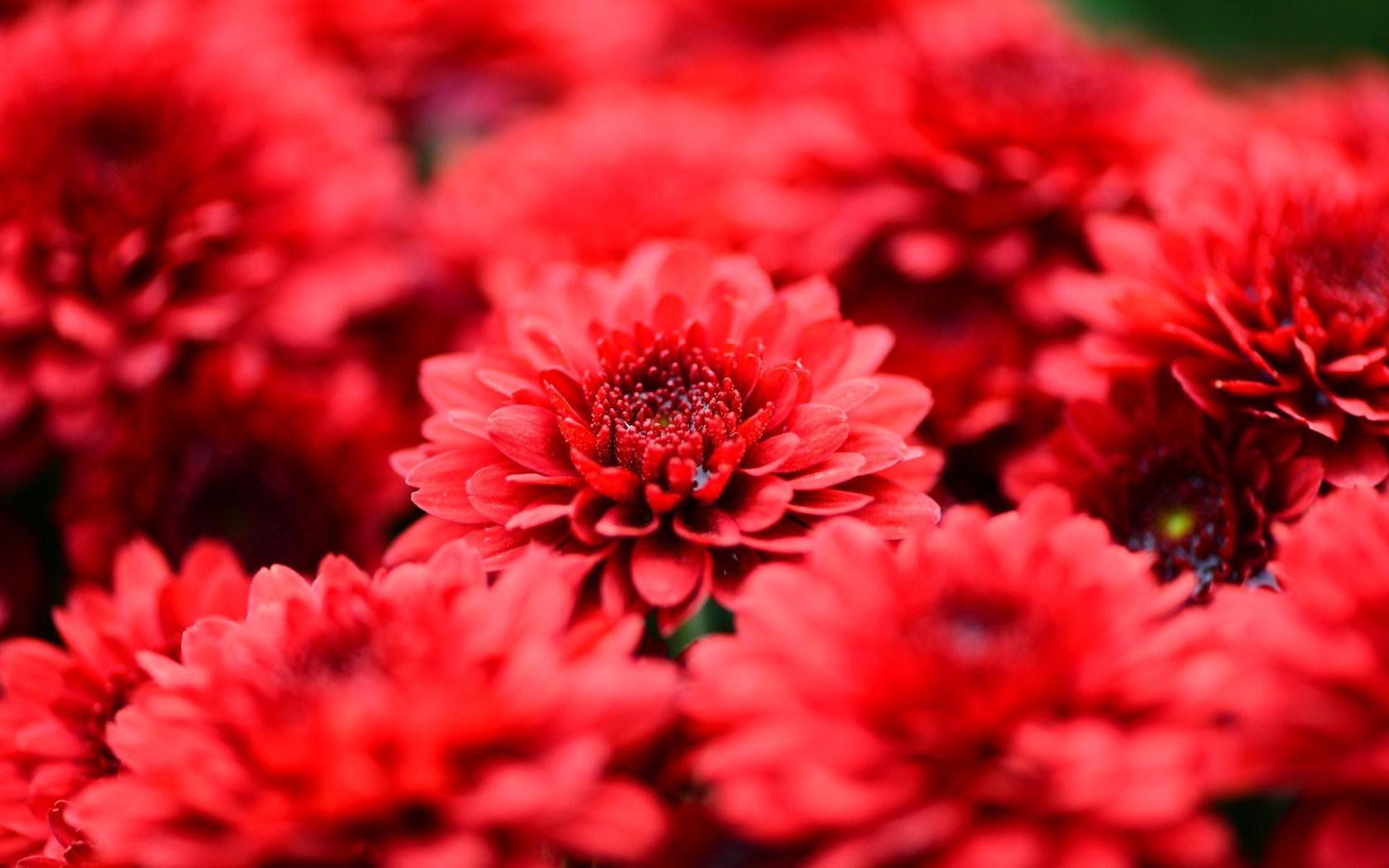 chrysanthemums red