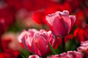close up tulips nature