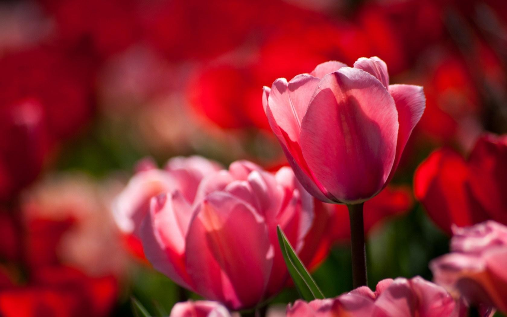 close up tulips nature