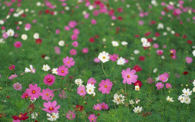cosmos flowers A1