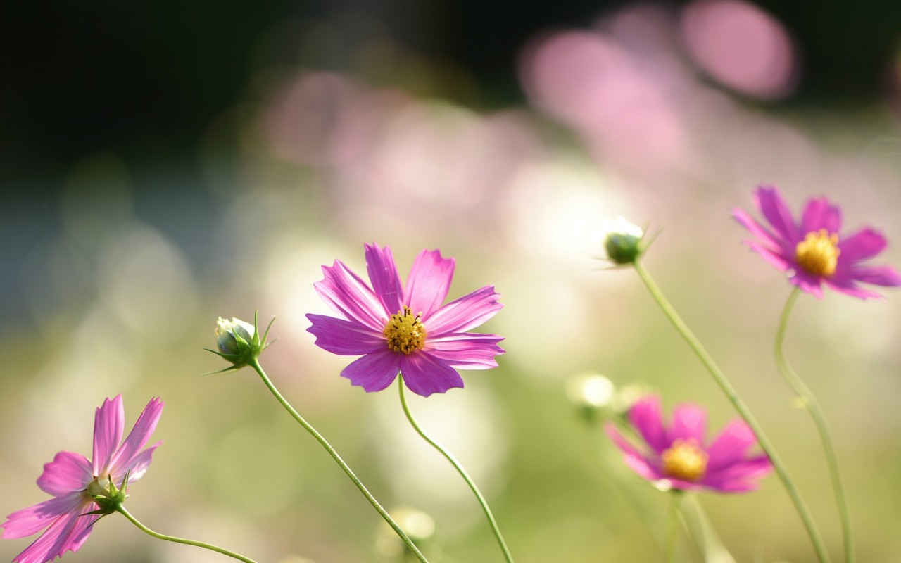 cosmos flowers A2