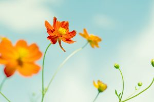 cosmos flowers A3