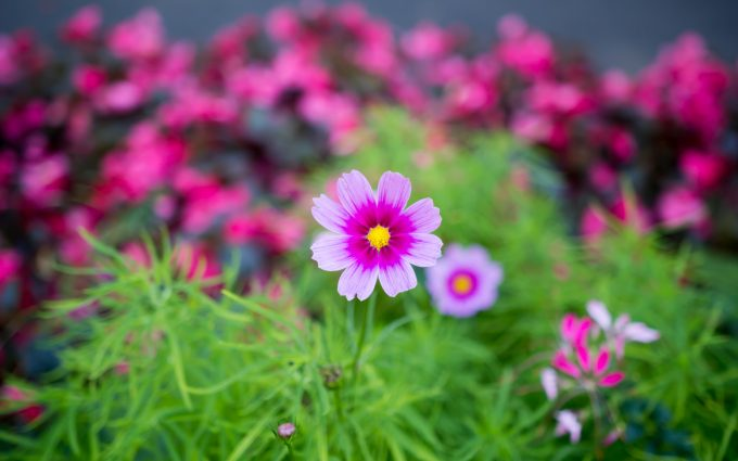 cosmos flowers A4