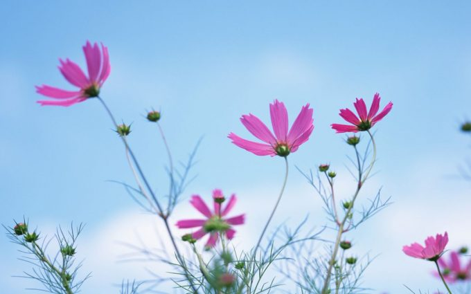 cosmos flowers A5