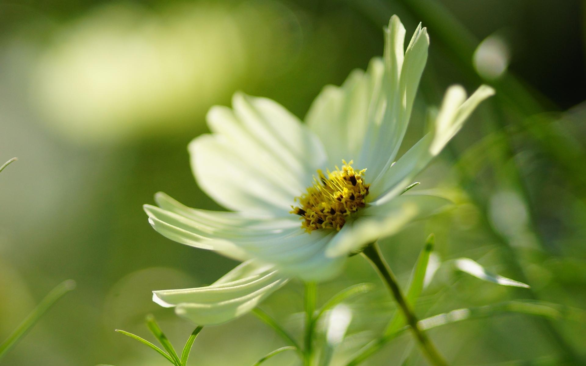 cosmos flowers hd