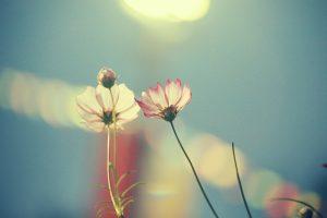 cosmos flowers wallpaper