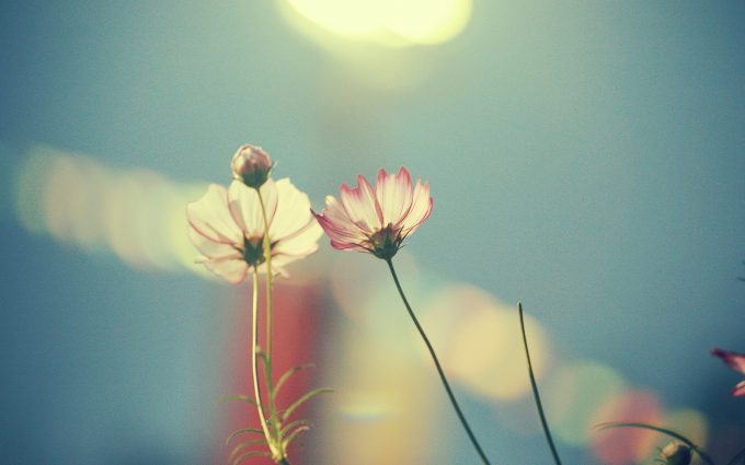 cosmos flowers wallpaper