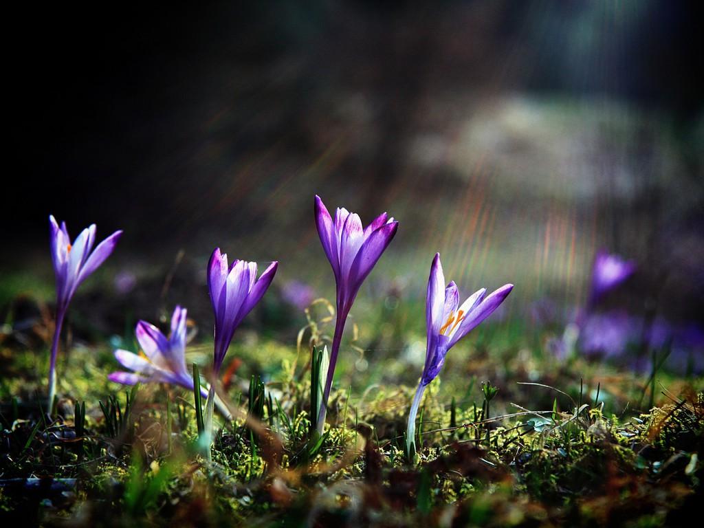crocus flower beautiful