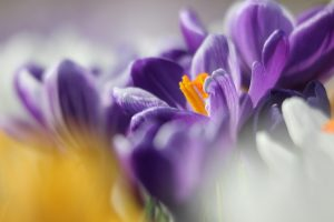 crocus flower images