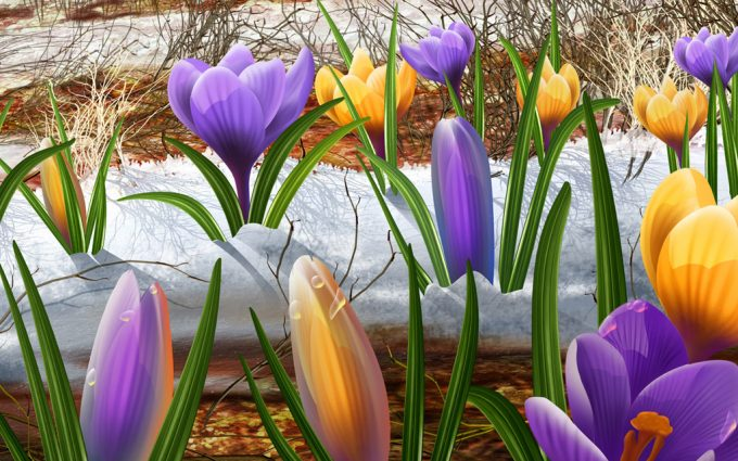 crocus flower nature