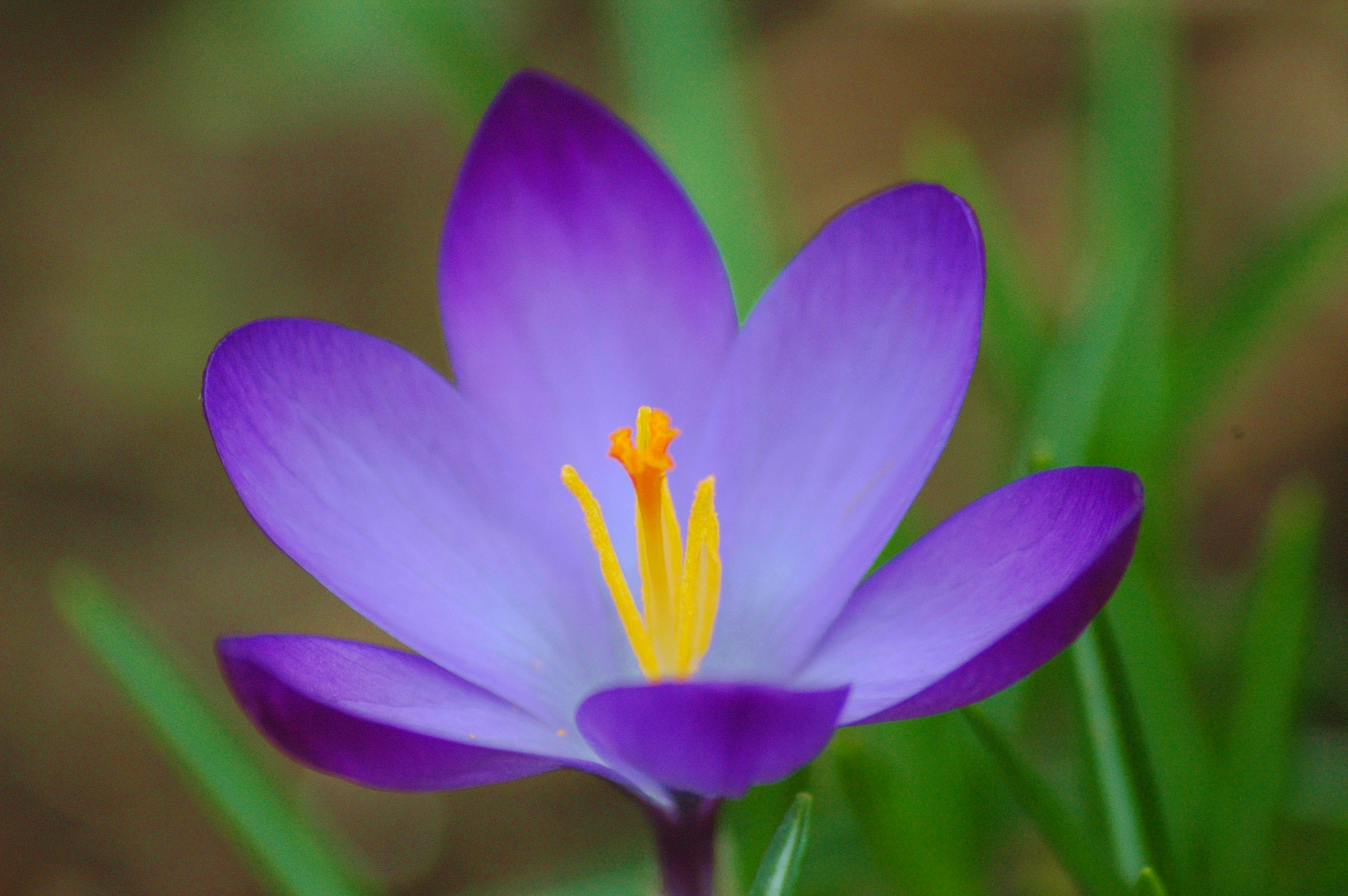 crocus flower photos