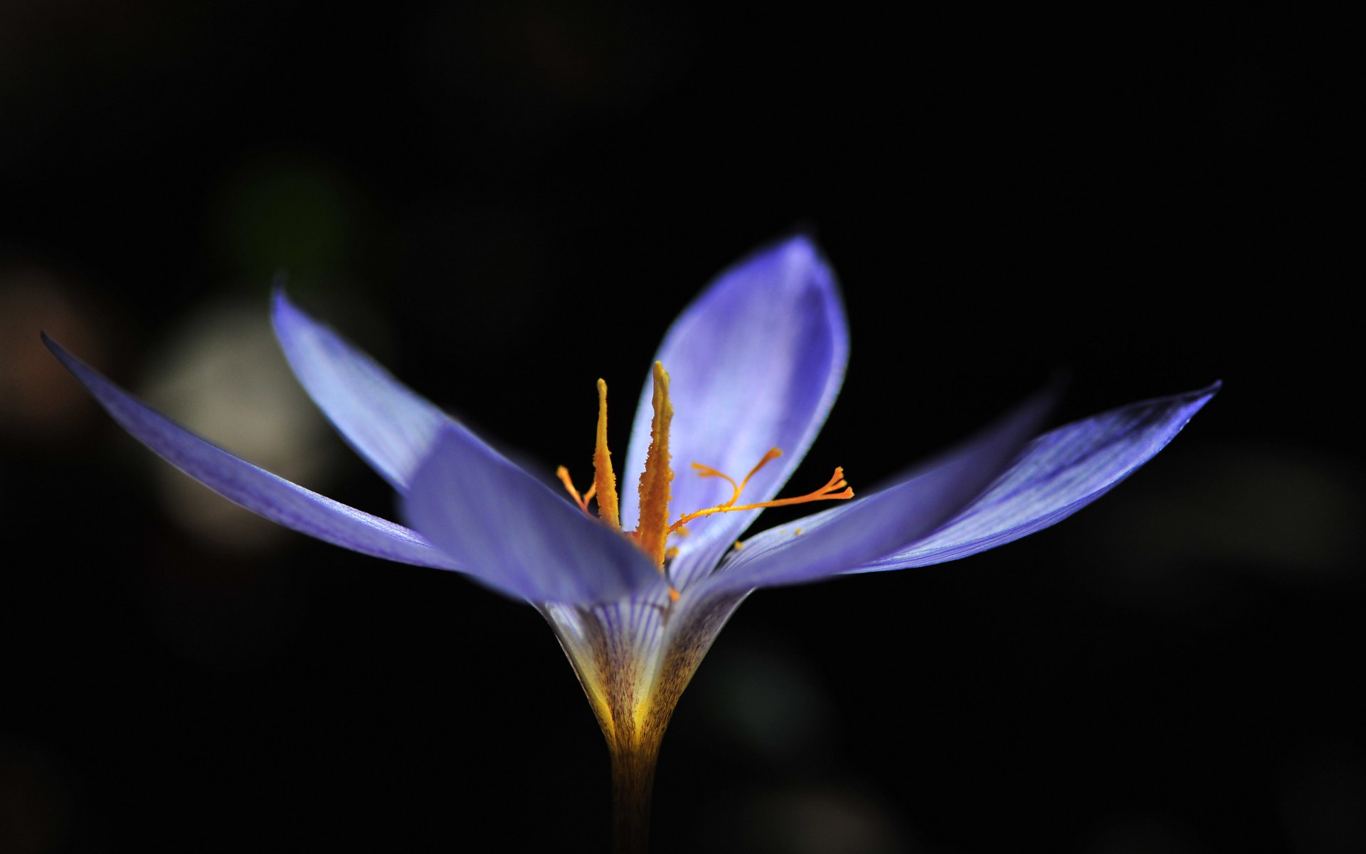 crocus flower picture hd