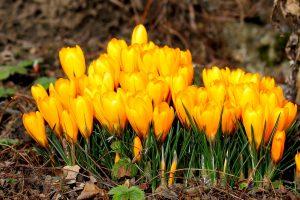 crocus flower yellow