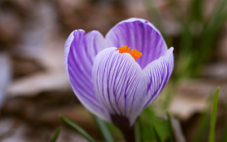 crocus purple