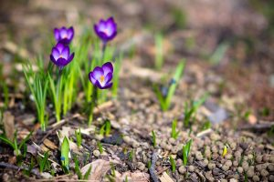 crocus wallpapers
