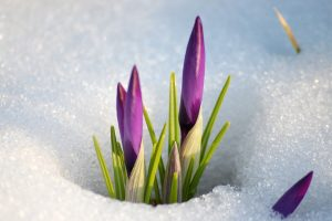 crocuses background download
