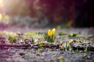 crocuses wallpaper cute