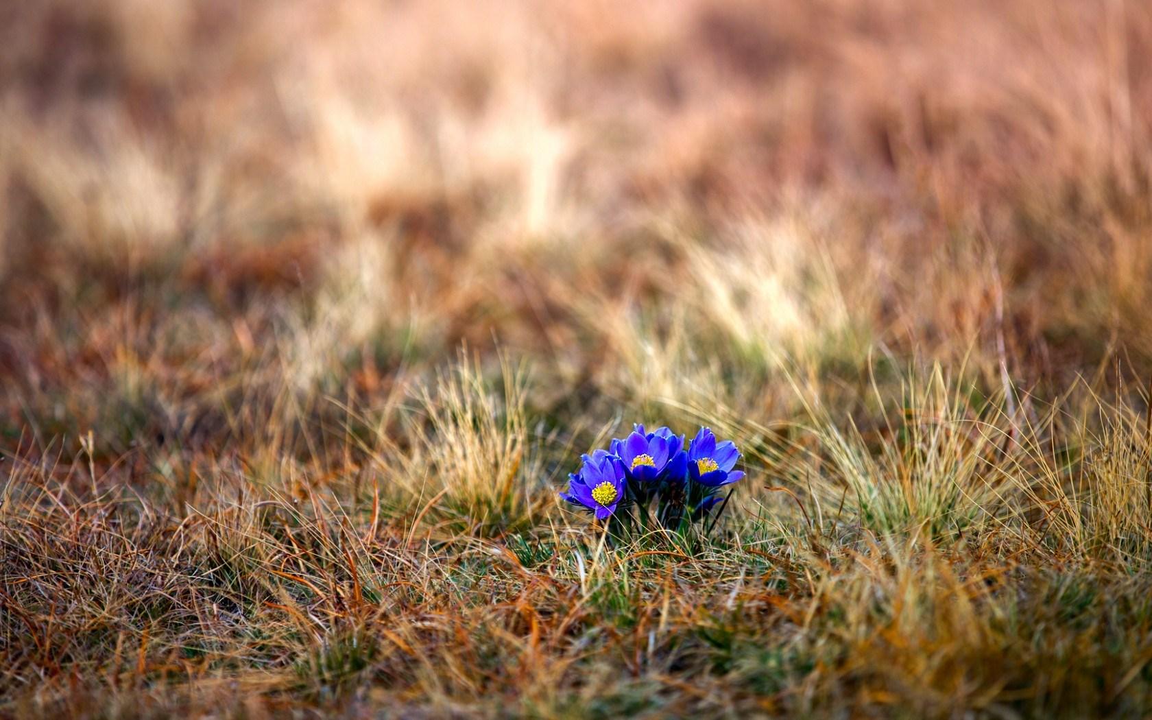 crocuses wallpaper flowers