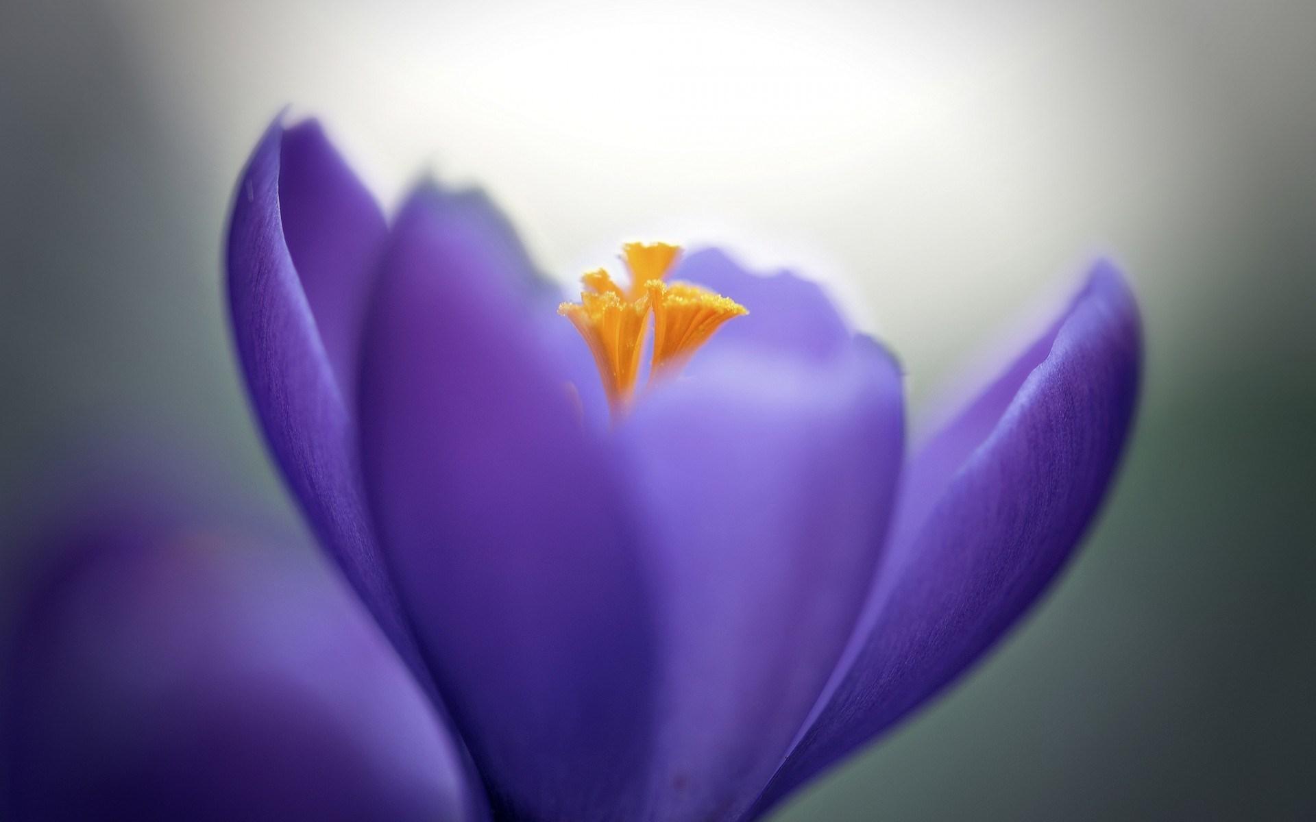 crocuses wallpaper lilac