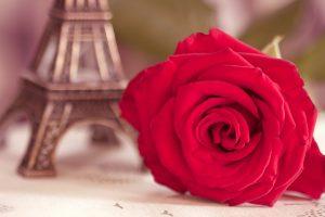 cute roses wallpaper