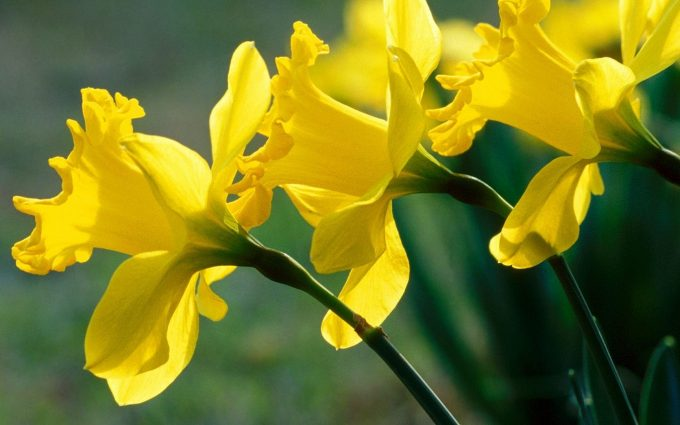 daffodil flower images