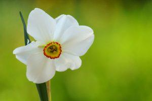 daffodil flower macro focus