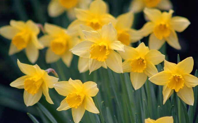 daffodils flower beautiful