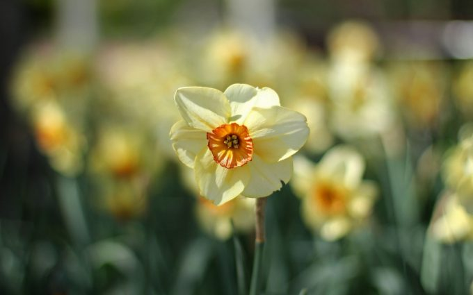 daffodils flower cool