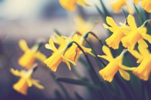 daffodils flower images