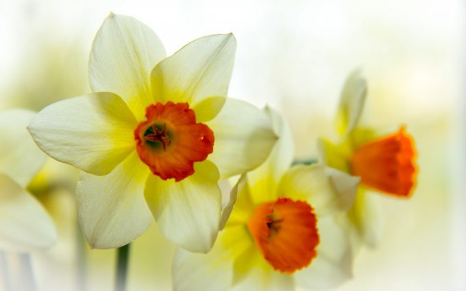 daffodils flower summer