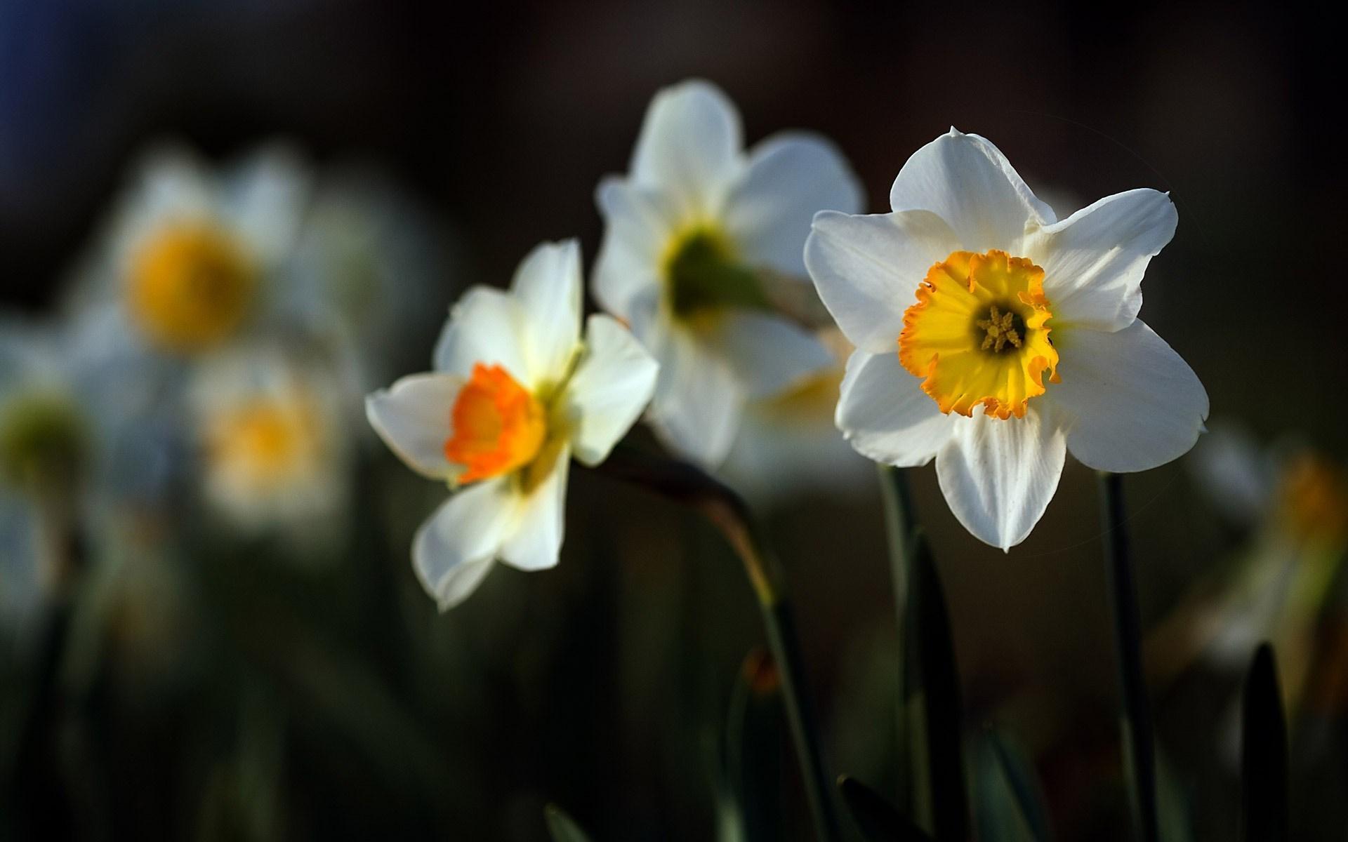 daffodils flower wallpaper 1080p