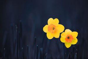 daffodils flower wallpaper hd
