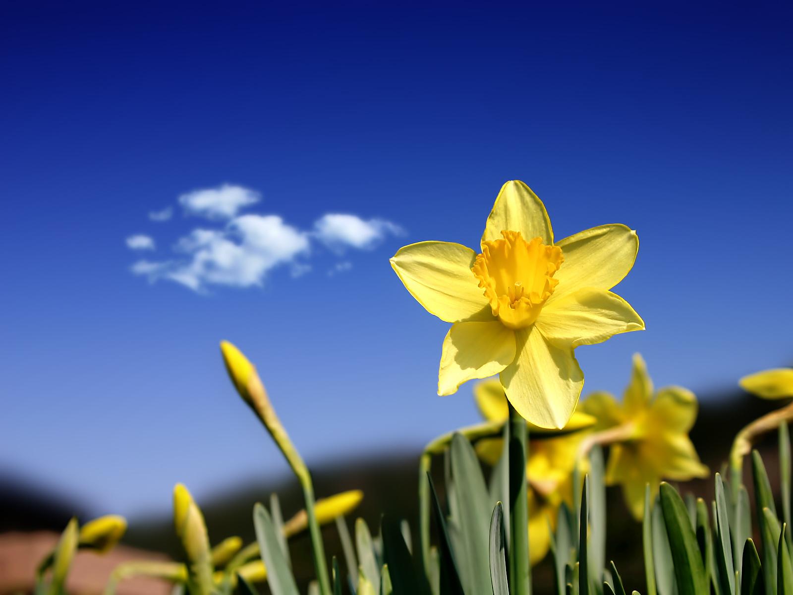 daffodils flower wallpaper