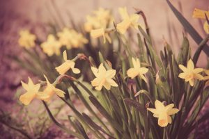 daffodils flower wallpapers