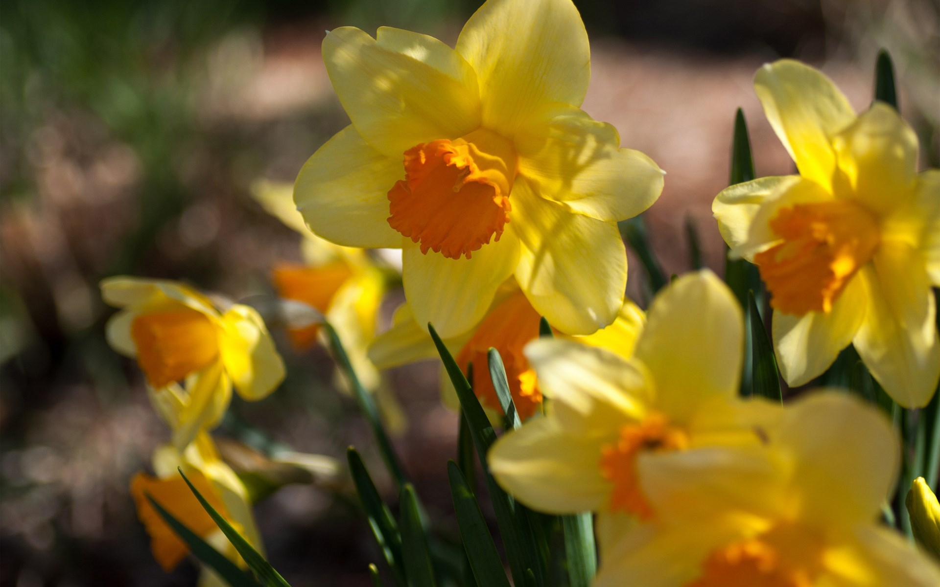 daffodils flowers yellow A1