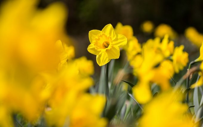 daffodils flowers yellow A2