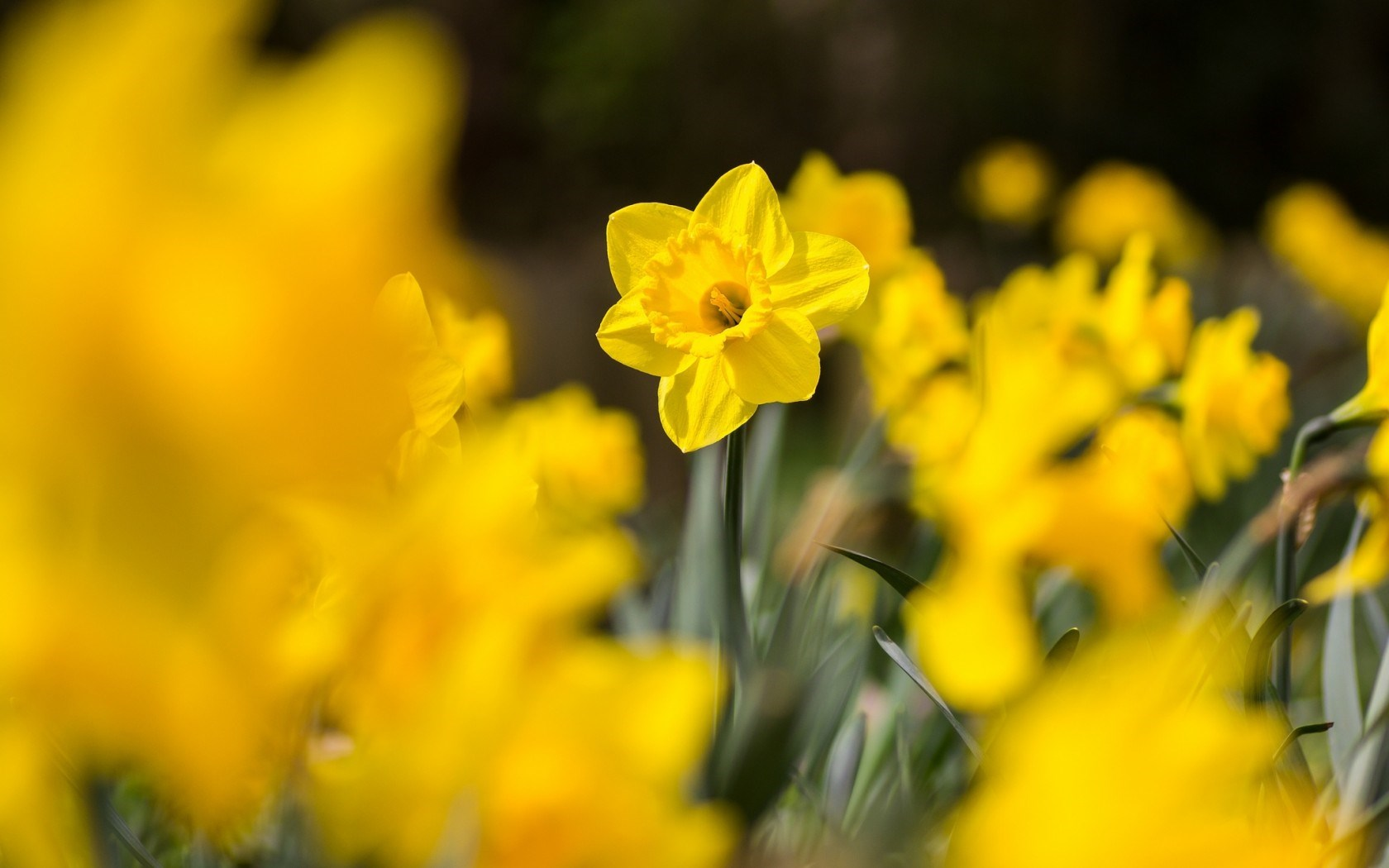 daffodils flowers yellow A3