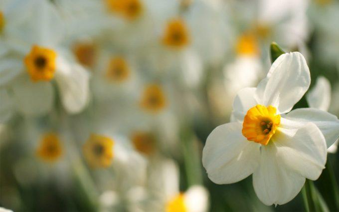 daffodils hd wallpaper