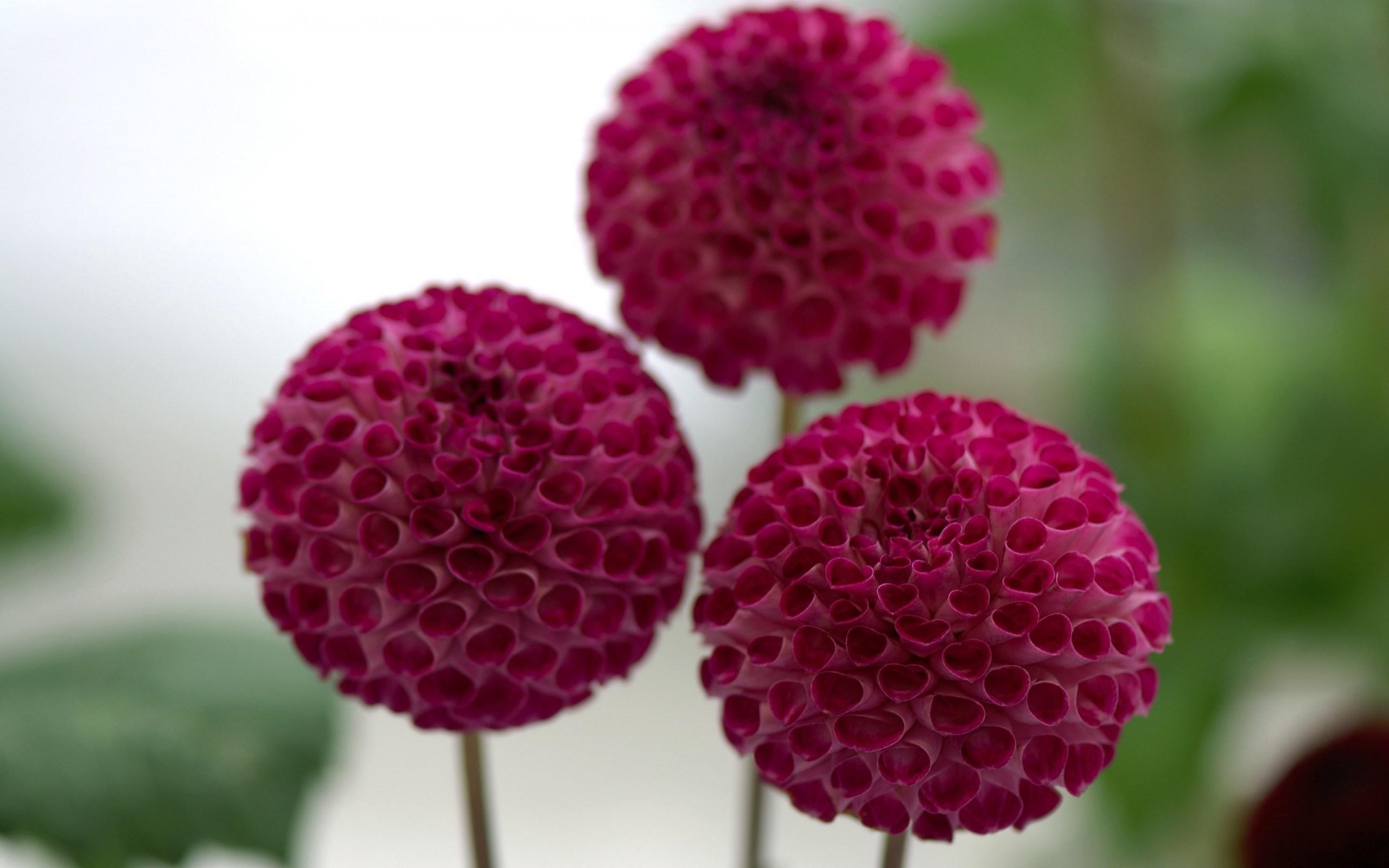 dahlias three flowers