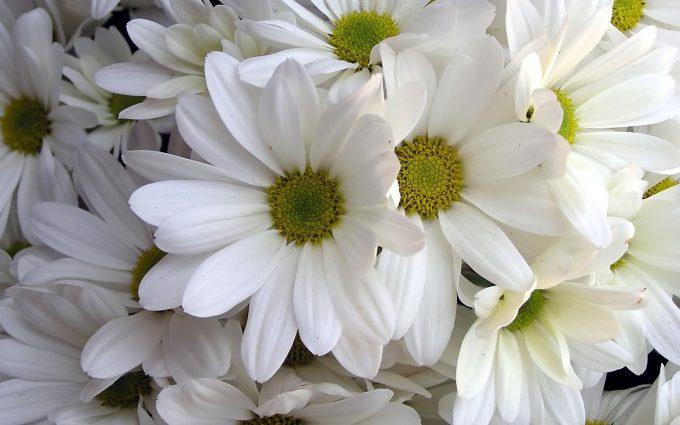 daisies A1
