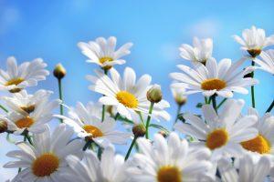 daisies hd A2
