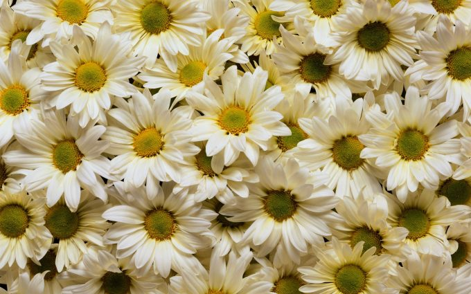 daisies picture