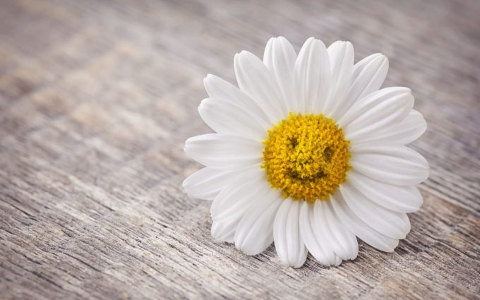 daisies pictures