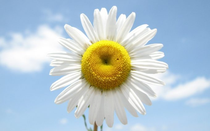 daisy flower images free